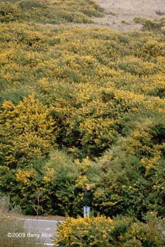 French broom, <i>Genista monspessulana</i>, invading a hillside near Bodega Bay, California. (Credit: B Rice)