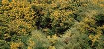 French broom, <i>Genista monspessulana</i>, invading a hillside near Bodega Bay, California. (Credit: B Rice) for Pests in the Urban Landscape Blog