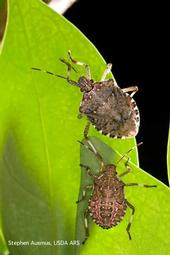Adult (top) and mature nymph of the brown marmorated stink bug.<br>(Credit: S Ausmus)