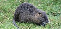 Adult nutria with white muzzle and whiskers, and long, round tail.<br>(Credit: J Gross) for Pests in the Urban Landscape Blog
