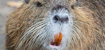 Nutria. [Credit: Tony Northrup] for Pests in the Urban Landscape Blog