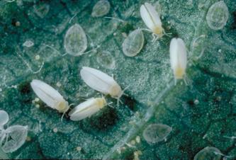 9 Whiteflies