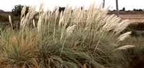 Invasive pampasgrass (Credit: J DiTomaso) for Pests in the Urban Landscape Blog