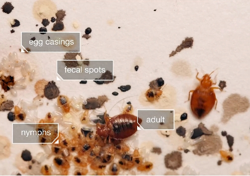 Both bed bug nymphs and adults feed on humans.