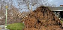 Downed tree with exposed roots in front of residence. (Credit: I Gonzalez) for Pests in the Urban Landscape Blog