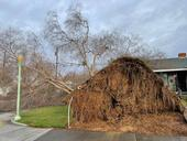 Downed tree with exposed roots in front of residence.