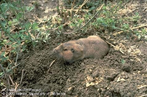 Adult pocket gopher coming out of its burrow in a field.