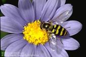 Beneficial syrphid fly adult on purple flower. [Credit: Jack Kelly Clark]