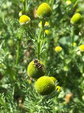 Lady beetle larva on top of yellow and green inflorescence.