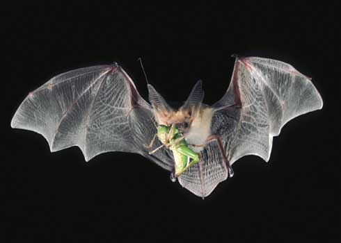 Adult cream colored pallid bat in flight with wings spread and a green grasshopper in its jaws.