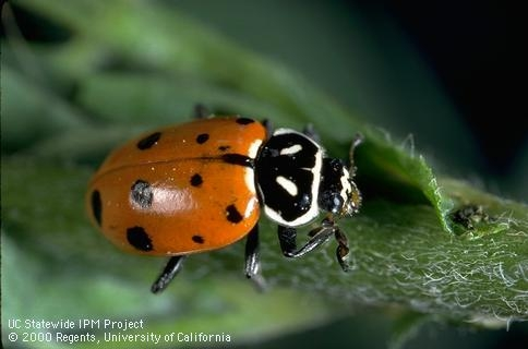 Black and red adult lady beetle on a green leaf.