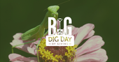 Green mantid straddling a flower with pink petals with white Big Dig Day of Giving logo