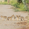 Group of coyote pups on a dirt road (Credit: N Quinn)