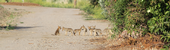 Group of seven coyote pups on a dirt road.