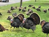 Two adult male wild turkeys strutting in grass with several female hens behind them.