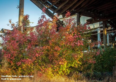 A red and orange shrub of poison oak growing in front of a building.