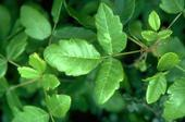 3 bright green poison oak leaflets on a stem with other leaves in the backgroun.