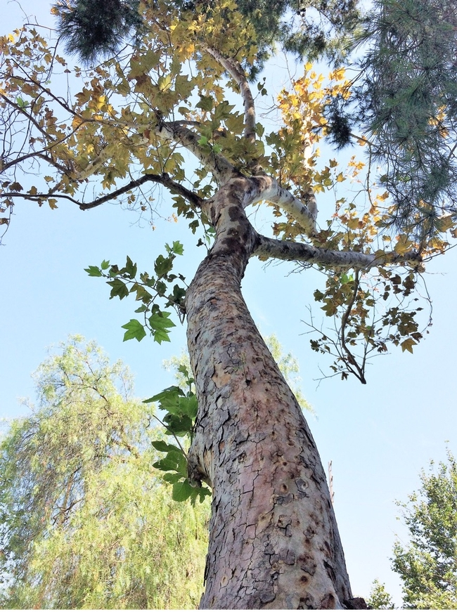 Trunk and canopy of a declining sycamore tree with yellowing leaves.