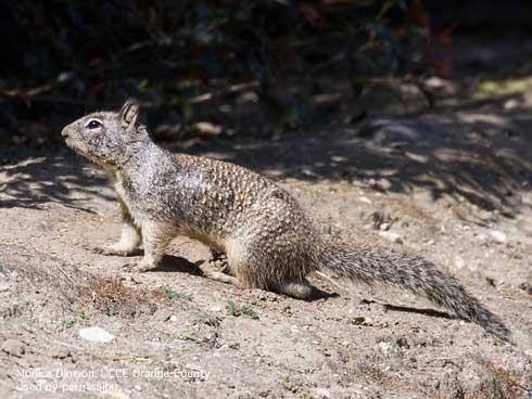 A California ground squirrel on dirt.
