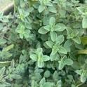 Oregano plant in pot.