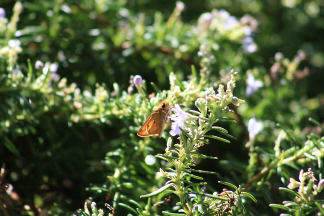 Fiery skipper butterfly on rosemary. (photo by Jennifer Baumbach)