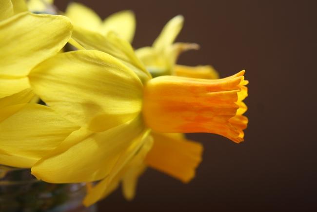 Narcissus 'Jetfire' has orange trumpet and reflexed petals. (photo by Jennifer Baumbach)