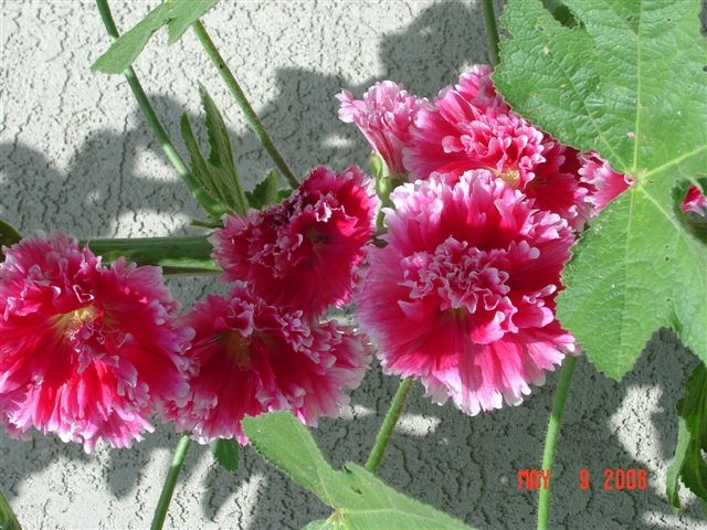 Double hollyhock. (photo by Sharon Rico)