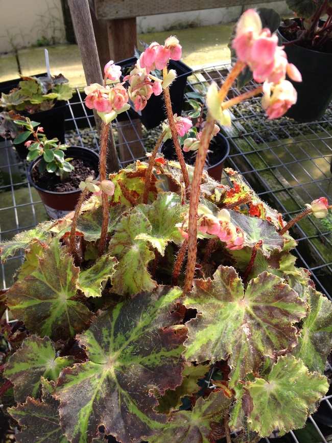 Begonia for sale. (photos by Jennifer Baumbach)