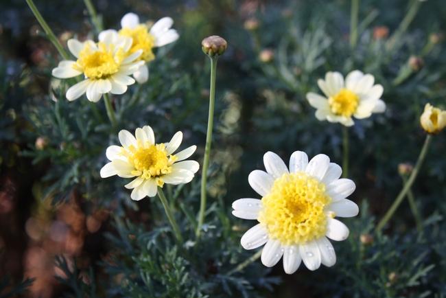 Argyanthemum 'Lemon Sugar' (photos by Jennifer Baumbach)