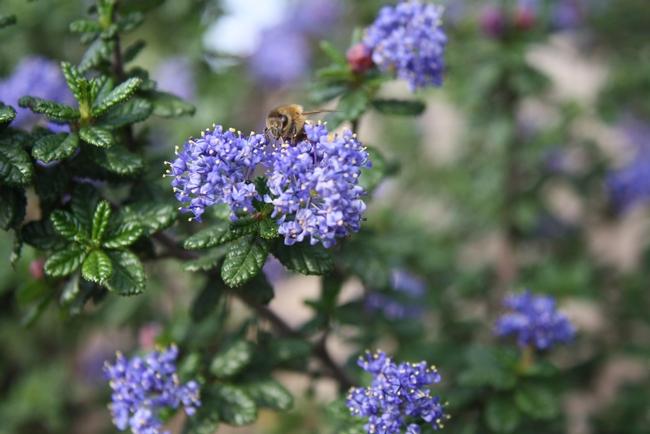 A honey bee on Ceanothus 'Dark Star'.