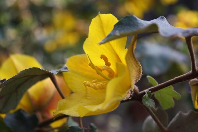 Flannel Bush (Fremontodendron spp.)