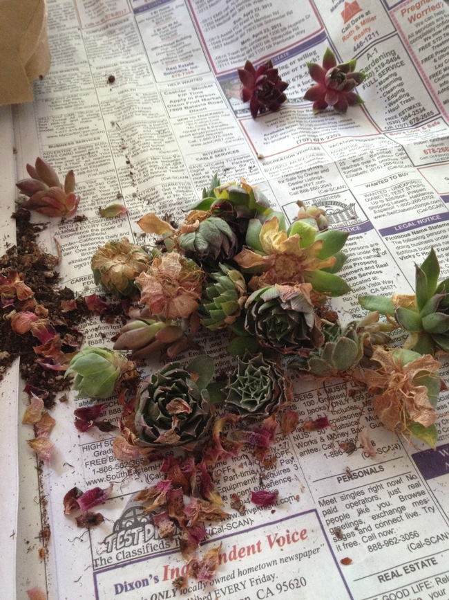 Loose succulents before cleaning.