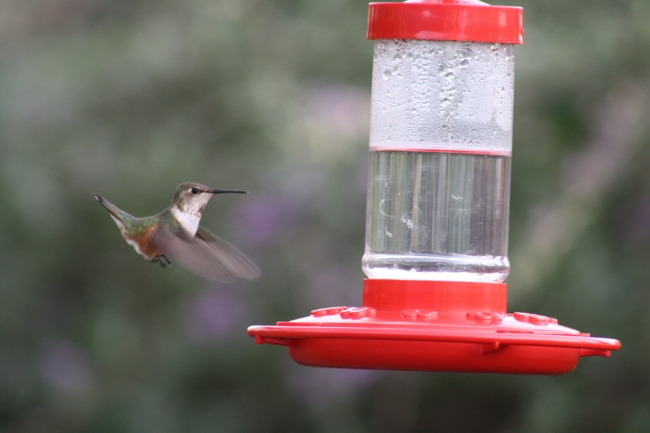 Hummingbird coming in to feed. (photos by Jennifer Baumbach)