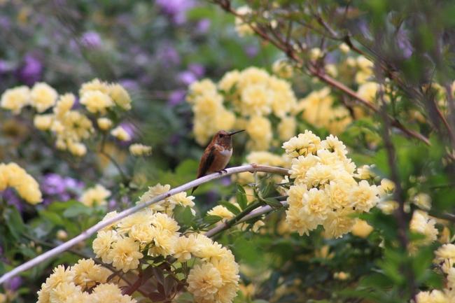 Rufous hummingbird on Rosa banksiae.