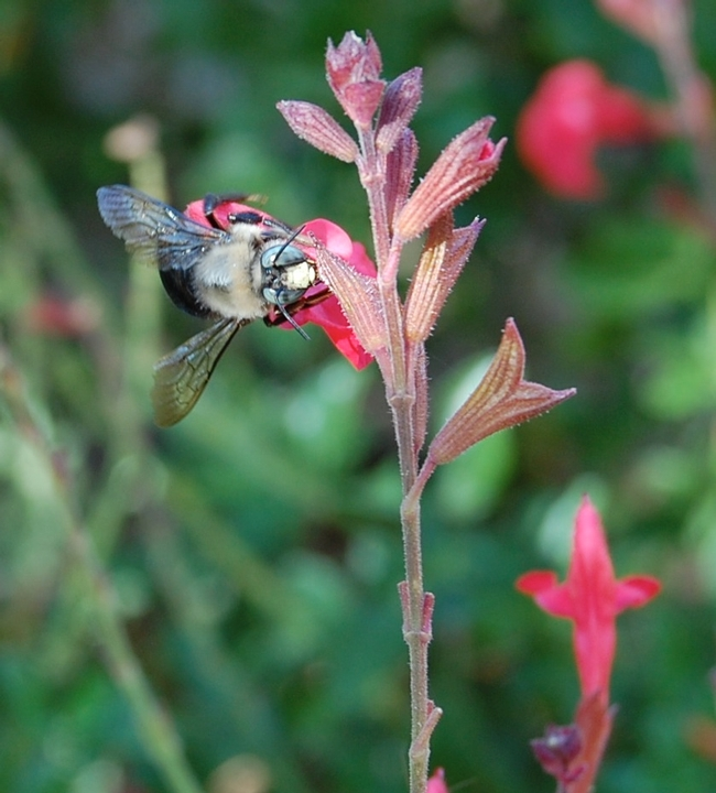 A male carpenter bee (Xylocopata tabaniformis orpifex) visits a Salvia blossom in a Vacaville garden.