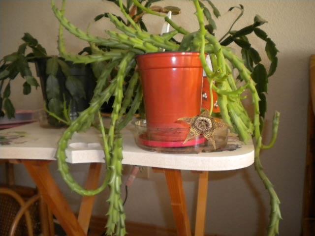 Stapelia plant. (photos by Karen Metz)