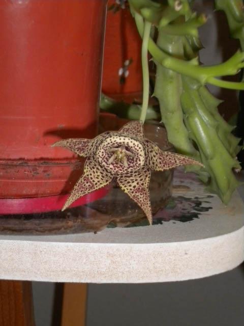 Starfish flower.