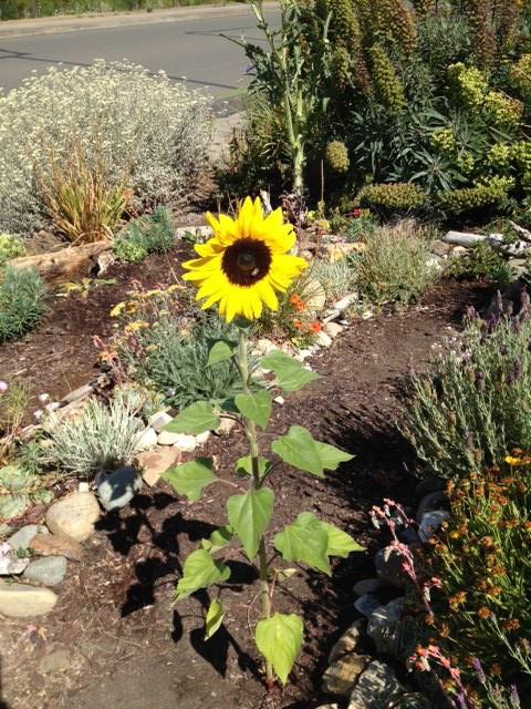 Happy volunteer sunflower.