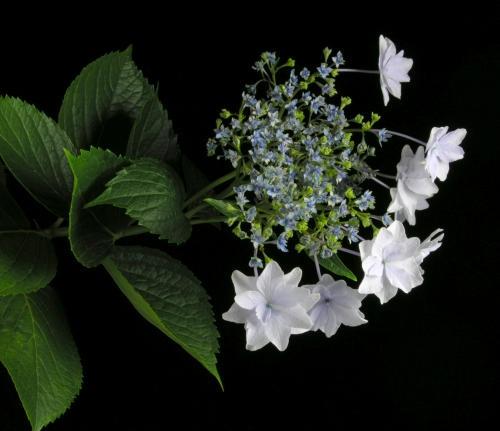 Hydrangea macrophylla 'Hanabi' (photo from aquiya.skr.jp)