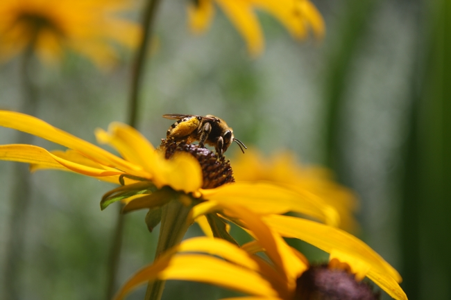 Long-horned male bee. (photos by Jennifer Baumbach)