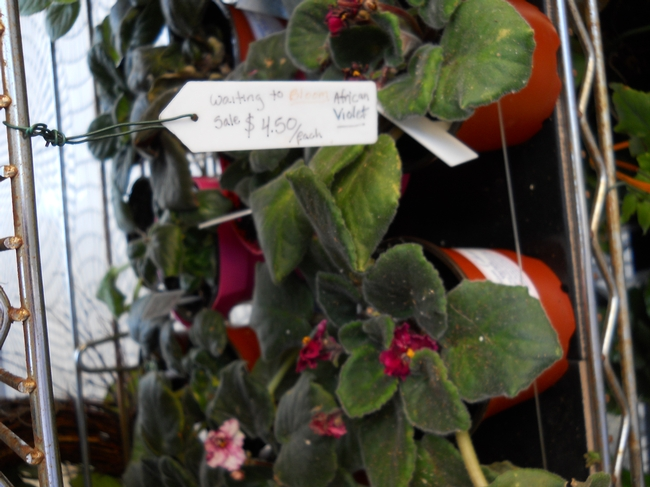 Tag on African violet.