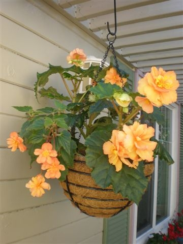 Big beautiful begonia.