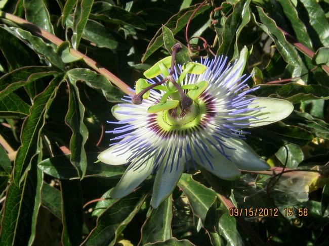 Passiflora flower.