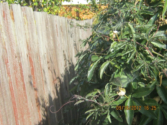 Passiflora sideview of fence.
