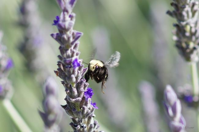 Bombus vosnesenskii female yellow face bumble bee. (photos by Thomas Tucker)