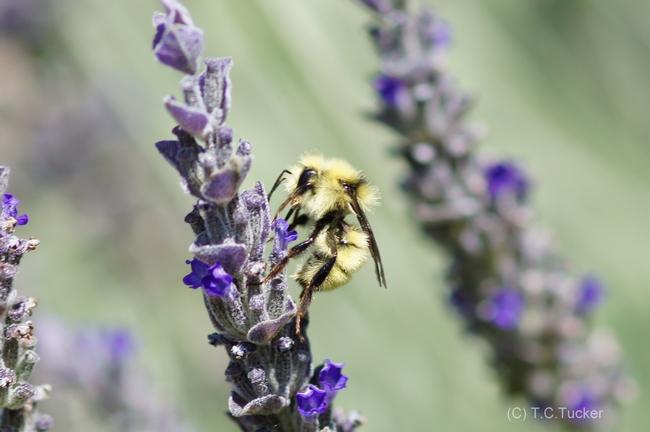 Bombus vosnesenskii male yellow face bumble bee.