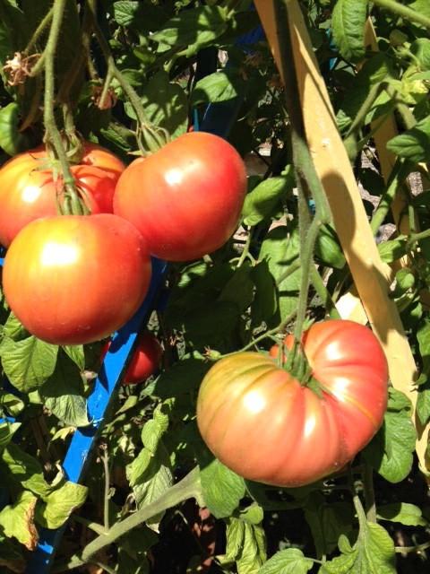 Pruden's (not-so) purple tomato. (photo by Trisha Rose)