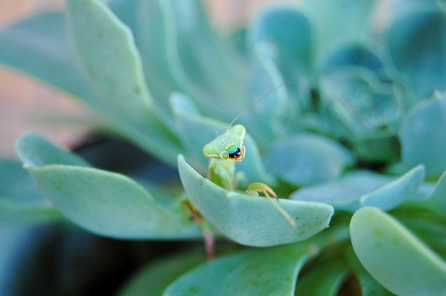 A praying mantid luxuriates in a Dudleya on a cool Sunday morning in Vacaville.
