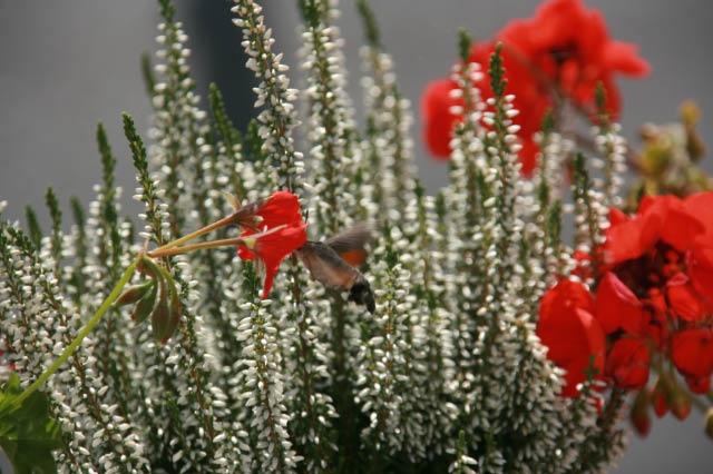 Macroglossum stellatarum. (photos by Keith Arrol)