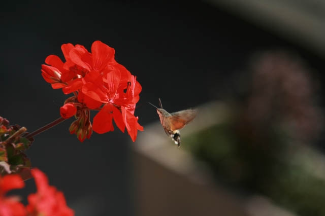 Note the antennae, hummingbirds don't have these.